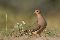 518180051 a wild mourning dove zenaida macroura sits among wildflowers on dos venadas ranch in starr county rio grande valley texas united states
