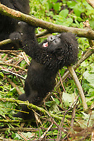 Mountain Gorilla baby climbing and swinging on branch (Gorilla gorilla beringei), Sabyinyo Group, Volcanoes National Park, Rwanda