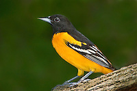 561920060 a wild breeding plumaged male baltimore oriole icterus galbula perches on a large tree limb on south padre island cameron county texas
