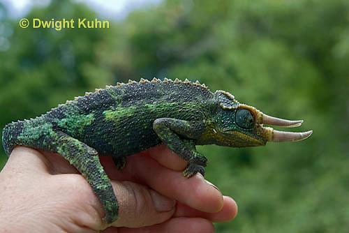 CH36-524z  Male Jackson's Chameleon or Three-horned Chameleon being held, Chamaeleo jacksonii