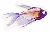 Black Skirt Tetra fish skeleton stained with Alizarin