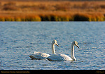 Trumpeter Swans, Swan Lake, Yellowstone National Park, Wyoming