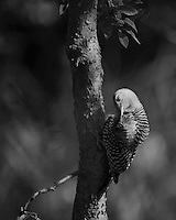 Photography is basically the recording of patterns of darkness and light as you may well know. Shadows enhance the relationships of subjects in an image, giving definition and dimension.. (Red-bellied Woodpecker).