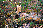 Peregrine Falcon, Artillery Lake, Northwest Territories, Canada