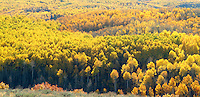 panoramic view of fall aspen in Woodland, Utah USA