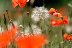 Field Poppy, Papaver rhoeas, soft focus and dandelion seed head.France....