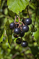 These wild southern fox grapes, also more popularly known as muscadine grapes, are the wild and natural progenitors of the commercially important and harvested varietal grapes used for making jams and wines. These wild grapes were photographed in Southwest Florida's Fakahatchee Strand - where I regularly snack/gorge on them during the summer when they are are their peak ripeness in the swamps. Delicious!