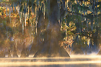 Beautiful backlighting on the overhanging Spanish moss of this large cypress at sunrise.