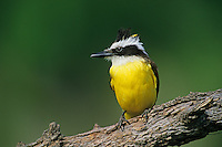 554810004 a wild great kiskadee pitangus sulphuratus perches on a log with a windblown topknot of feathers in the rio grande valley of south texas