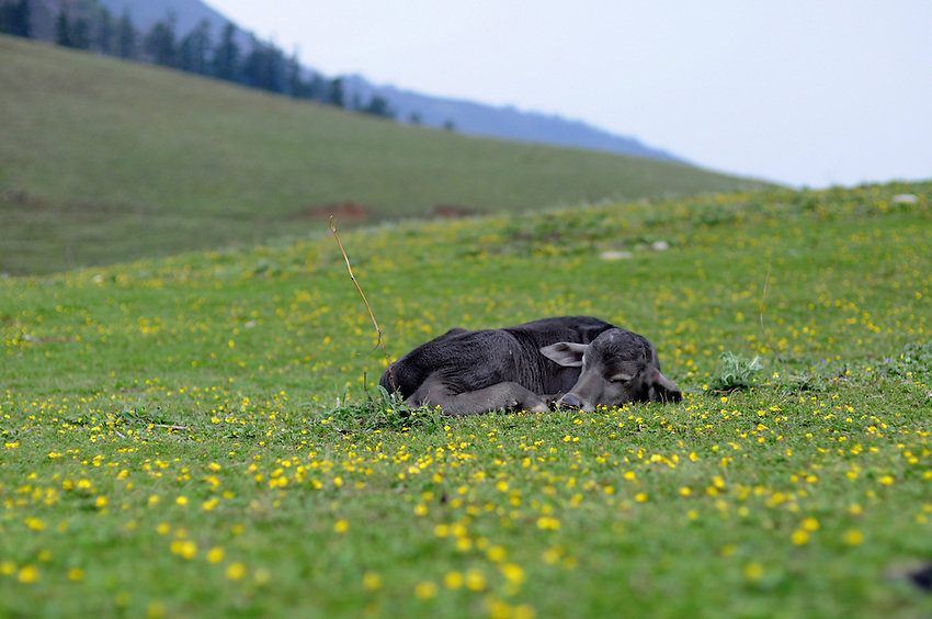 A baby buffalo rests in an alpine meadow.