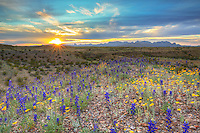 Out East River Road on the southeast slopes of the Chisos Mountains, bluebonnets and other Texas wildflowers enjoy a beautiful spring sunset at Big Bend National Park