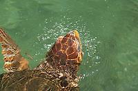 Loggerhead sea turtle  (Caretta caretta) Oceanarium, San Martin de Pajarales island, Rosario islands, Cartagena de Indias, Colombia, South America.