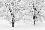 Oaks in Snowstorm, Ahwahnee, Sierra Nevada Foothills, California