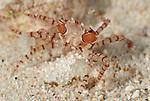 Boxer crab (Lybia tesselata )