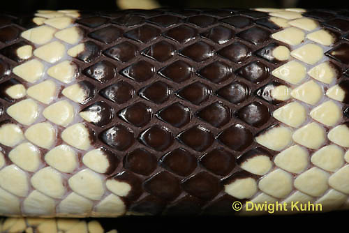 1R22-530z  California Kingsnake close-up of skin and scales, Lampropeltis getulus californiae