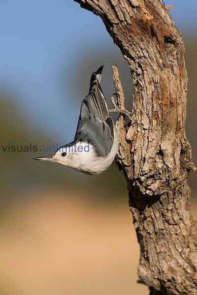 White-breasted Nuthatch (Sitta carolinensis) walking down a tree trunk, Arizona, USA.