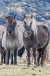 Iceland , Icelandic horses