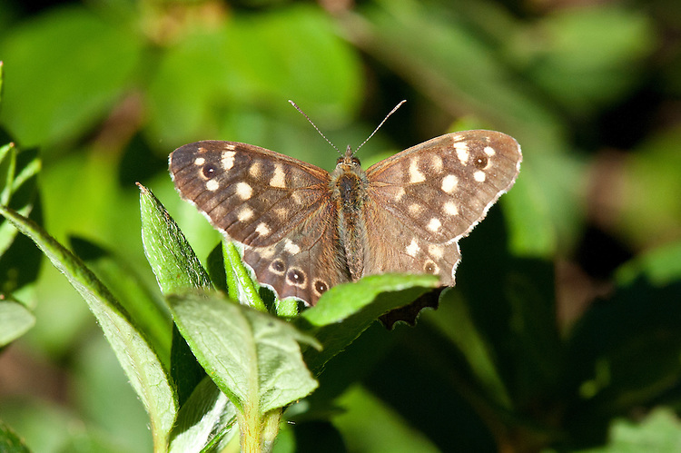 Speckled Wood butterfly (Pararge aegeria), late Sepember.