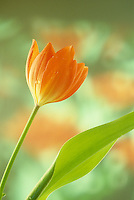 Close up of an orange tulip, tulipa, as the flower begins to open.  dew drop in spring Missouri USA.
