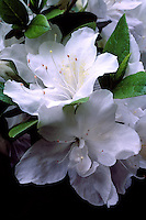 Close-up of pair of white azalea flowers, rhododendron mucronatum 'Alba Magna', Vancouver, BC