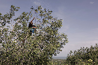 """Indonesia – Sumatra – Aceh - Indonesia China Friendship Village - Armansiah Nyong, 44-year-old father of two climbs on the trees to collect fruits for his family. In the morning of the 24th of December 2004, Nyong spotted a mass of white foam on the horizon, marching towards the shore at tremendous speed. He tried to warn the others to run away, but the waves hit him while he was still trying to escape from the coastline. """"There were bodies everywhere and people who were breaking into shops in desperate search of water"""". His search for his wife and children went on for years and brought him to every displaced camp in the hope of finding his relatives alive. In 2007 he finally gave up, remarrying and rebuilding a new family, but the memories of his lost dear ones will haunt him for a long time. """"I visit Ulee Lheue two times a week to recall them: that was my house, there was my childhood playground""""."""
