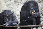 Foto: VidiPhoto<br /> <br /> ARNHEM - Zich niet bewust van het 'onheil' dat hem vrijdag boven zijn hoofd hangt, is chimpanseeman Fons (r) donderdag de rust zelve. Het 41-jarige mannetje gaat vrijdag onder het mes om een sterilisatie uit 2002 ongedaan te maken. Inderdaad werd gedacht dat Fons niet raszuiver was, maar met de huidige DNA-technieken is ontdekt dat de ontmande chimp wel degelijk tot de Westelijke ondersoort behoort, waarmee Burgers' Zoo wil fokken. Nageslacht van Fons is daarom zeer wenselijk, temeer omdat hij na de operatie -als die slaagt- de enige fokman is. Uniek is dat de operatie wordt uitgevoerd door urologen van ziekenhuis Rijnstate. Zij hebben beroepshalve veel ervaring met operatie aan de zaadleiders. Chimpansees zijn nauw verwant aan mensen.