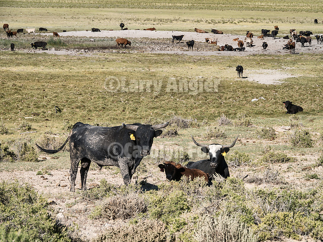 Grazing range cattle, Hot Springs Valley, Nev.