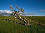 Farmland and windswept tree in the Waitangi-Tuku area.Chatham Islands New Zealand.