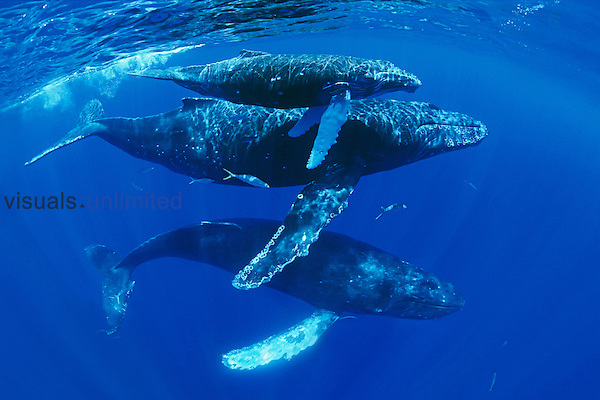 Humpback Whale mother, calf, escort (Megaptera novaeangliae), Hawaii, Pacific Ocean.