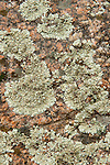 Map Lichen, Rhizocarpon geographicum, on rocks, Sierra de Andujar Natural Park, Sierra Morena, Andalucia, Spain
