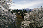Cherry blossom tress in full bloom frame Mount Iwake at the Cherry Blossom Festival held in Oyo Park near Hirosaki Castle in Aomori Prefecture in Northern Honshu, Japan. Over 1500 cherry trees come into bloom from late April to Early May. (Jim Bryant Photo).......