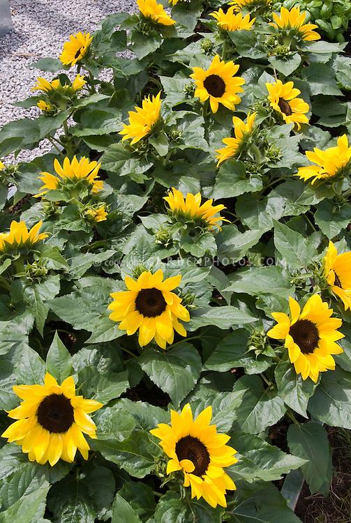 Smiling Sunflower Images Dwarf Sunflowers 'big Smile'