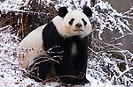 Giant Panda, Ailuropoda melanoleuca, sitting in snow,  Wolong Research and Conservation Centre, Sichuan (Szechwan) Province Central China, can handle bamboo with great dexterity with extended sesamoid bone in wrist which acts like false thumb, reserve, breeding centre, captive, captivity, asia, asian, black, white, chinese, fur, furry, bears, pandas, patterns, omnivores, snow.China....