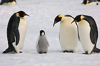 Emperor Penguin family (naughty chick look). Snow Hill Island Colony, Antarctica.
