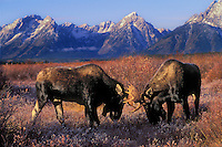 Bull Moose (Alces alces) locking antlers in autumn rut..Dominance display. Rocky Mountains..Grand Teton National Park, Wyoming. U.S.A.