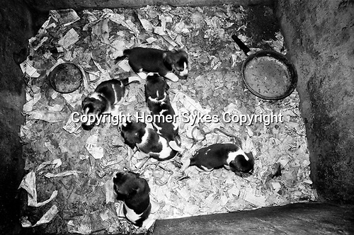 Puppy Farming Wales 1989. A litter of Beagles.<br />