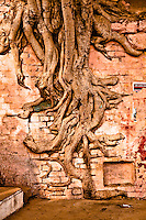 Wish fulfilling divine tree growing on wall in Varanasi. (Photo by Matt Considine - Images of Asia Collection)