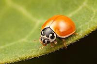 Polished Lady Beetle (Cycloneda munda), Ward Pound Ridge Reservation, Cross River, New York