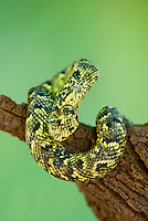 489550010 a captive usambara mountains eyelash bush viper atheris ceratophora sits coiled on a tree stump species is newly recorded and native to the usambara mountains of tanzania