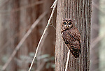 Northern spotted owl in old growth forest, Olympic National Park, Washington