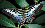 Clipper butterfly Parthenos sylvia open wings, irridescent blue and brown pattern colours against green leaves, adult .SE Asia....