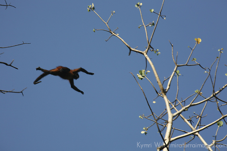 Central America, Latin America, Costa Rica. A Spider monkey caught mid-leap between trees.