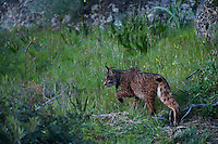 Iberian Lynx (Lynx pardinus) female.Sierra de Andújar Natural Park, Mediterranean woodland of Sierra Morena, north east Jaén Province, Andalusia. SPAIN.RANGE: Iberian Peninsula of Spain & Portugal..CITES 1, CRITICAL - DANGER OF EXTINCTION.Fewer than 200 animals in the wild. There is a reduced genetic variability due to their small population. They have suffered due to hunting, habitat loss and road accidents, but the most critical threat today is the reduced numbers of wild Rabbits (Oryctolagus cuniculus) within the lynx's range. The rabbits are the principal food source of the lynx and they are suffering from deseases such as Myxomatosis & Rabbit haemoragic virus. The lynx is also suffering from deseases such as feline leukaemia.A medium sized cat weighing 12-15kgs, Body length 90cm, Shoulder height 45-50cm. They have a mottled fur pattern, (3 varieties of fur pattern found between the different populations and distinguishing them geographically)  short tail, ear tufts and are bearded. They are territorial cats although female cubs have been found to share their mother's territory. Mating occurs in Dec/Jan and cubs born around April. They live up to 13 years...Mission: Iberian Lynx, May 2009