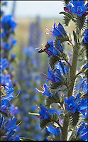 BNPS.co.uk (01202) 558833<br /> Picture: PhilYeomans/BNPS<br /> <br /> Vipers Bugloss (Echium vulgare)<br /> <br /> One of Britains last wilderness area's is a hive of activity this spring as an army of busy bees swarm across Salisbury plain in Wiltshire.<br /> <br /> Major Chris Wilkes commands an astonishing 8 million bees in 150 hives dotted across the unique enviroment of the plain. The chalkland host's an amazingly wide range of rare wildflowers as 60,000 acres of SSSI have never been treated with modern pesticides.<br /> <br /> The wet winter and dry spring have produced perfect conditions for the diverse flora of the grasslands, with the isolation of the plain creating a cornucopia of the top nectar flowers in the UK  producing a honey with the distinctive flavour of one of Britains last wilderness areas.