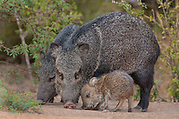 650520293 a wild baby javelina dicolytes tajacu interacts with its mother on beto gutierrez ranch hidalgo county texas united states