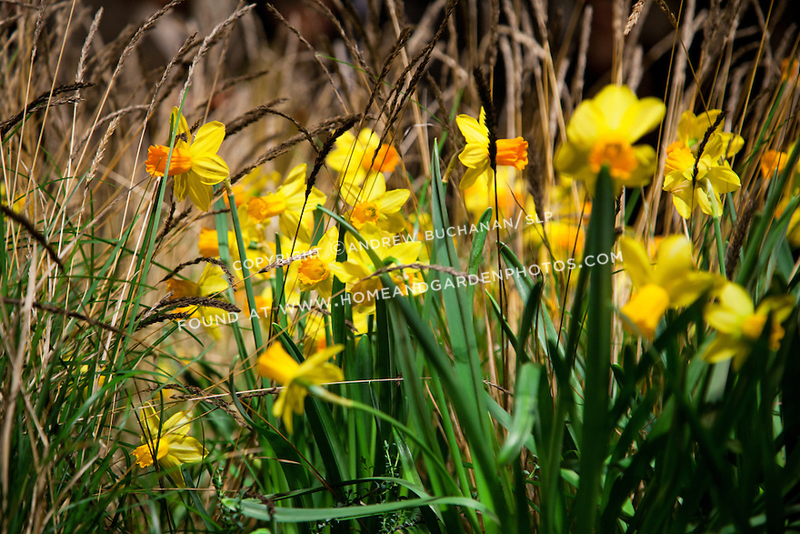 Df028302 garden flower daffodils grass for Ornamental grass with yellow flowers
