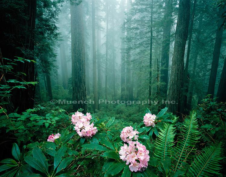"""""""Rhododendron blooms, Del Norte Redwoods Redwood NP  CALIFORNIA"""""""