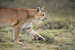 A puma walks along the grassy terrain in Patagonia, Chile.