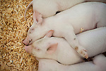 Baby pigs in pen sandwiched together sleeping at a 4H display at the Evergreen State Fair Monroe Washington State USA