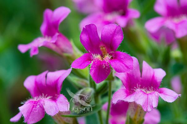 Pink Monkeyflower or Lewis's Monkeyflower (Mimulus lewisii).  Pacific Northwest.  Summer